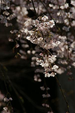 早咲きの枝垂桜 (110402)