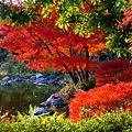 Photos: 昭和記念公園 日本庭園 紅葉