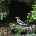 Photos: 100921-50オオルリの若鳥♂