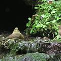 Photos: 100921-76キビタキ♀(奥)とオオルリ♀2羽