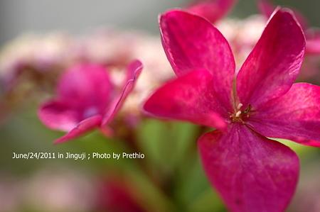 神宮寺の紫陽花(6)