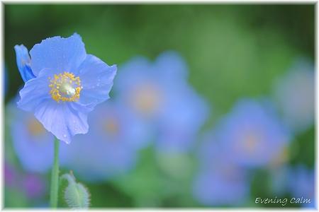Blue Poppy_0010