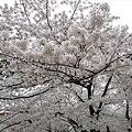 小倉城・勝山公園の桜(6)