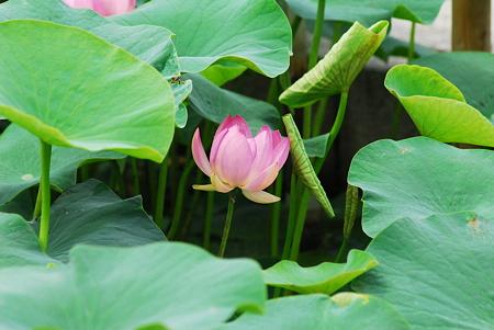 蓮の花11
