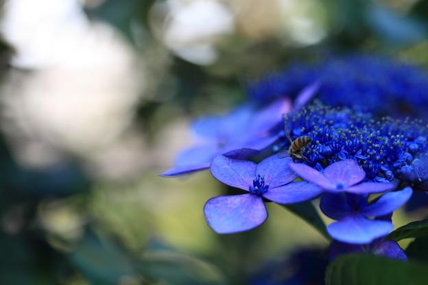 Photos: 紫陽花 ブルースカイ 蜂