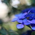 紫陽花 ブルースカイ 蜂