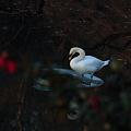 一人ぼっちの白鳥さん
