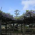 Photos: 巨樹の藤 小松城跡公園(芦城公園)で