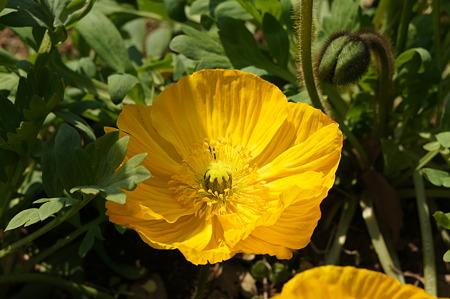 黄色いポピー