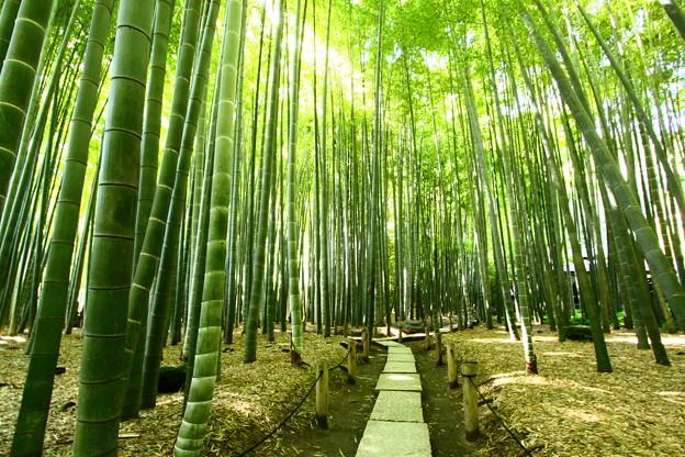 写真: 報国寺の竹林