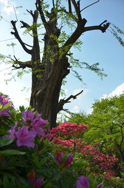 Photos: 根津神社ツツジ16
