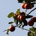 Photos: 秋半ばの柿の実