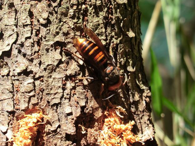 デカいスズメバチ