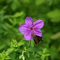 写真: アサマフウロと蝶