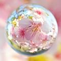 桜玉 -春-