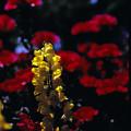 Photos: 赤い花の中に黄色い花